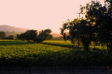 Treeline Vineyards in Windsor