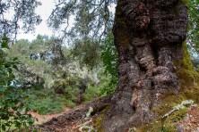 Massive-Oak-Tree