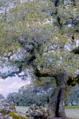 Texture-of-an-Old-Oak