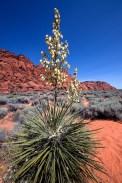 Yucca-Blooming-at-Snow-Canyon