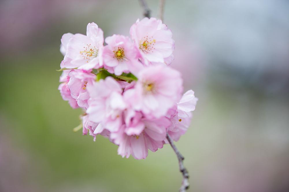 cherry, blossom, spring, springtime, beauty, vienna