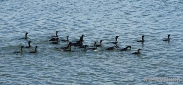 cormorant flock1