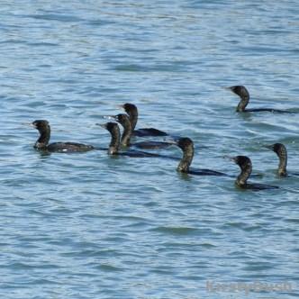 cormorant flock2