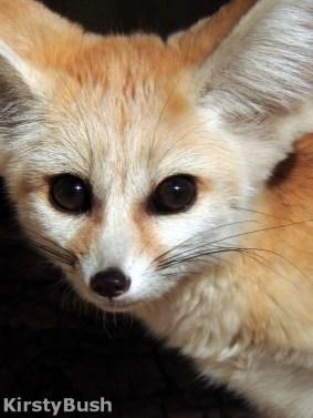fennec fox 3