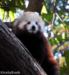 Maiya Red Panda 1