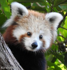 Maiya Red Panda 2