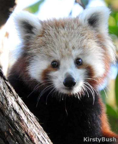 Maiya Red Panda 4