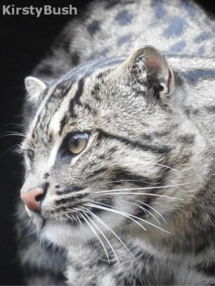 fishing cat1