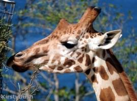 giraffe 6