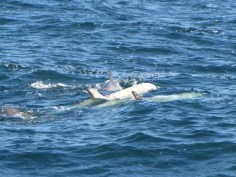 Risso Dolphins