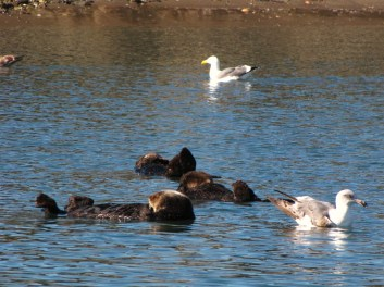 Raft of Sea Otters.
