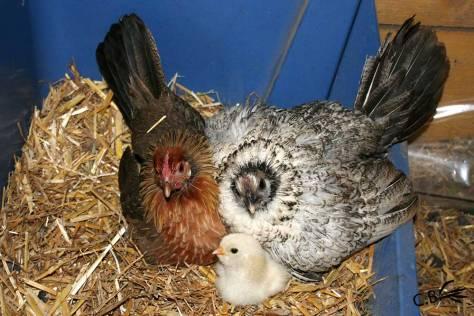 2 poules naines couvent ensemble et protègent leurs poussins