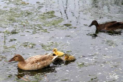 famille-canards-Vauvert