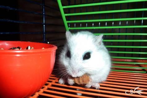 Hamster russe grignotant