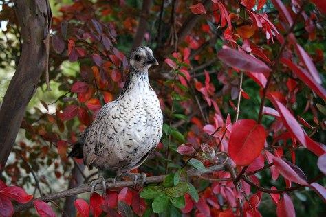 Poule naine hybride Hollandskriel-sébright perchée dans notre lilas des Indes
