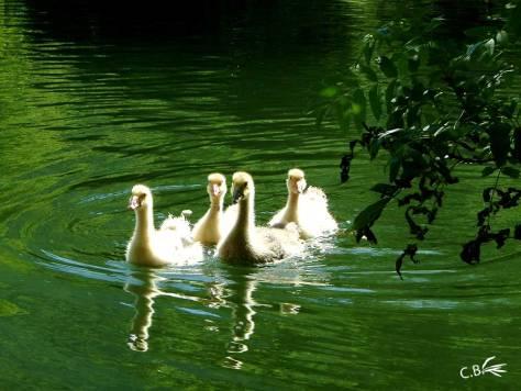 Oisons sur un lac