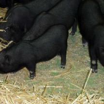 cochons nains bébés
