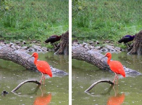 Jeu des 7 différences Ibis rouge