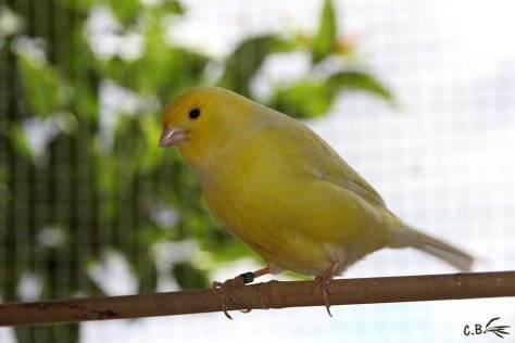 Canari mâle jaune