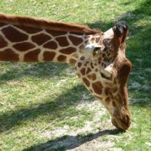 Girafe, réserve africaine de Sigean, 2010