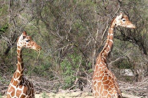 Deux girafes, réserve africaine de Sigean, 2014