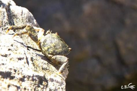 Crabe sur un rocher, mer méditerranée