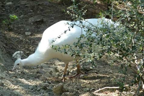 Paon blanc, Sigean, 2010