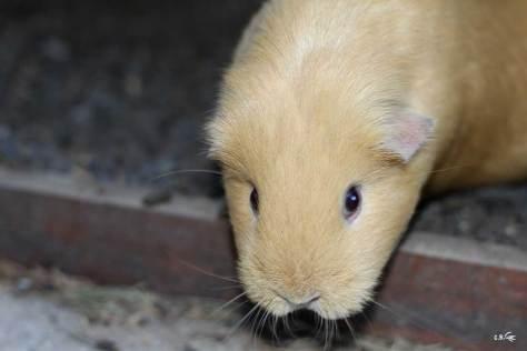 cochon d'Inde à poils lisses