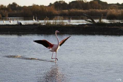 Flamant rose atterrissant