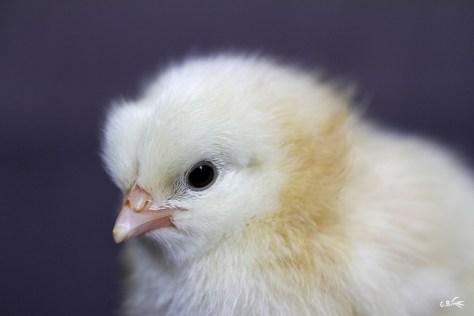 Poussin d'une semaine, femelle poule rousse, mai 2018