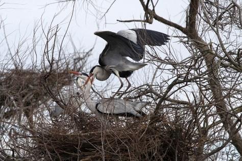 Accouplement des hérons cendrés, centre ornithologique de Pont de Gau, février 2018