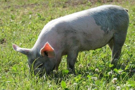 jeune cochon, Auvergne, juillet 2018