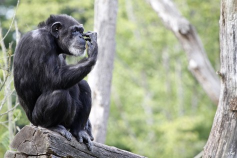 Chimpanzé, parc Le Pal, Auvergne, juillet 2018