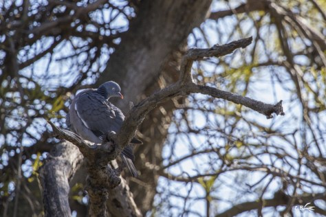 Pigeon ramier, étang du Méjean (Lattes), février 2018