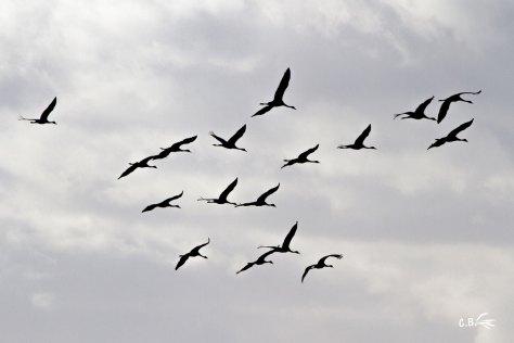 Grues cendrées en vol (Vauvert-Gard), décembre 2018