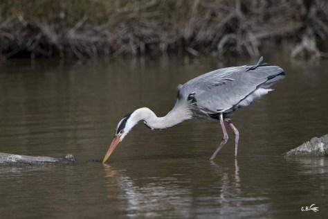 Héron cendré à la recherche de nourriture, parc ornithologique Pont de Gau (Saintes-Maries-de-la-mer), mars 2019