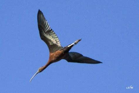 Ibis falcinelle en vol, parc ornithologique de Pont de Gau (Saintes-Maries-de-la-Mer), mars 2019