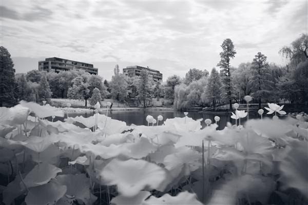 Water lilies in Infrared