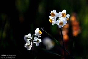 Iran - Narcissus Harvest 1