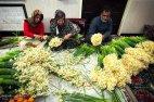 Iran - Narcissus Harvest 6