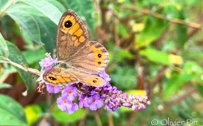 Arbre à papillons !