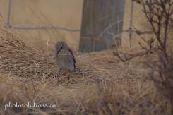 Female Bluebird building nest 2 cropped wm