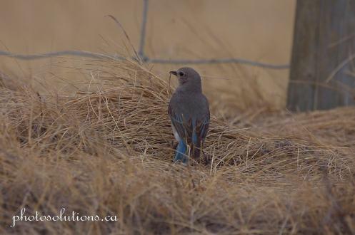 Female Bluebird building nest cropped wm