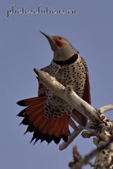 Northern flicker tail feathers Inglewood cropped wm