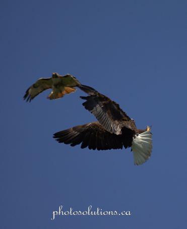 Bald Eagle and Hawk fight