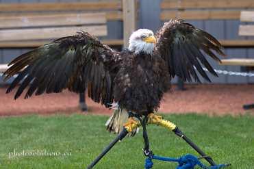 BOP Bald Eagle Drying off