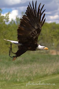 BOP Bald Eagle Flight Demo take off 4