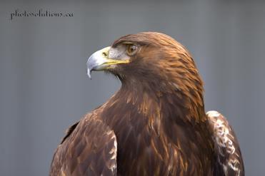 BOP Golden Eagle head shot