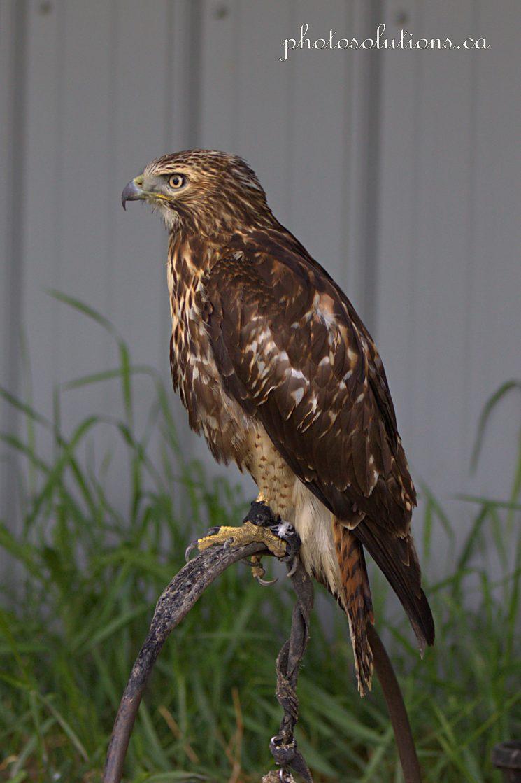 BOP Hawk 3 cropped wm