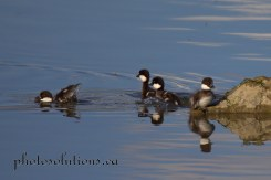 Common Goldeneye ducklings when mom calls cropped wm